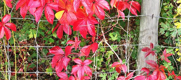 Feuilles de vigne rouge en automne